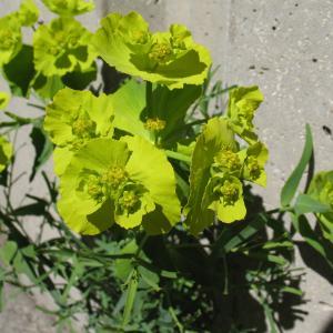 Photographie n°288003 du taxon Euphorbia serrata L. [1753]