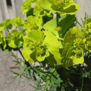 Photographie n°288005 du taxon Euphorbia serrata L. [1753]