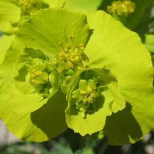 Photographie n°288007 du taxon Euphorbia serrata L. [1753]