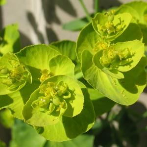 Photographie n°288015 du taxon Euphorbia serrata L. [1753]