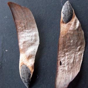 Photographie n°288409 du taxon Pinus halepensis Mill. [1768]