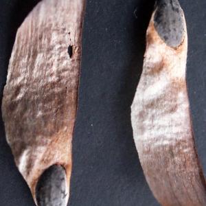 Photographie n°288410 du taxon Pinus halepensis Mill. [1768]