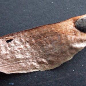 Photographie n°288411 du taxon Pinus halepensis Mill. [1768]