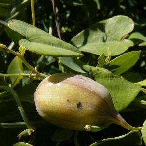 Photographie n°288506 du taxon Aristolochia baetica L. [1753]