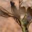 Liliane Roubaudi - Ranunculus peltatus subsp. baudotii (Godr.) Meikle ex C.D.K.Cook [1984]