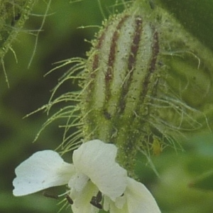Photographie n°288679 du taxon Silene gallica L. [1753]