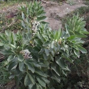 Photographie n°288704 du taxon Vicia faba L. [1753]