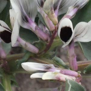Photographie n°288707 du taxon Vicia faba L. [1753]
