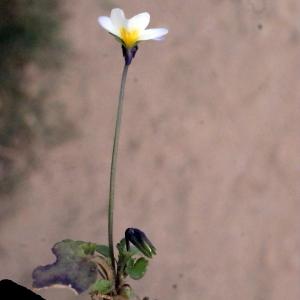 Photographie n°288735 du taxon Viola arvensis Murray [1770]