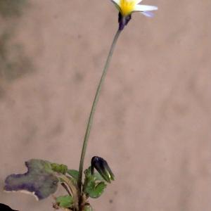 Photographie n°288736 du taxon Viola arvensis Murray [1770]