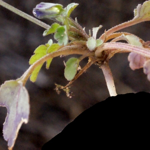 Photographie n°288738 du taxon Viola arvensis Murray [1770]