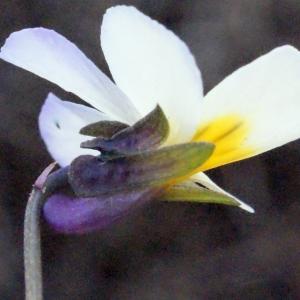 Photographie n°288741 du taxon Viola arvensis Murray [1770]