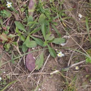 Photographie n°288753 du taxon Viola arvensis Murray [1770]