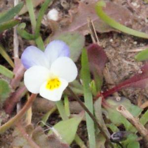 Photographie n°288755 du taxon Viola arvensis Murray [1770]