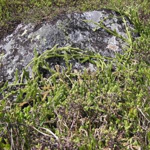 Photographie n°288758 du taxon Lycopodium clavatum L. [1753]
