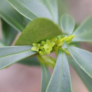 Photographie n°288815 du taxon Daphne laureola L. [1753]