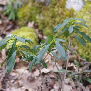Photographie n°288816 du taxon Daphne laureola L. [1753]