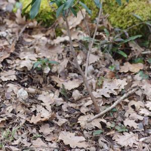 Photographie n°288817 du taxon Daphne laureola L. [1753]