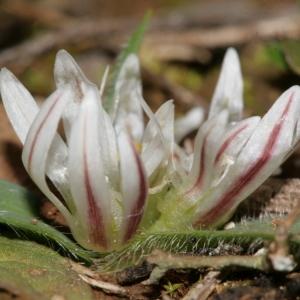 - Allium chamaemoly L. [1753]