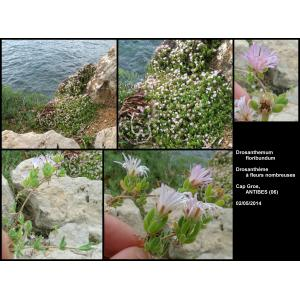 Drosanthemum floribundum (Haw.) Schwantes (Pale Dewplant)