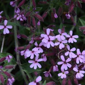 Photographie n°288893 du taxon Saponaria ocymoides L.