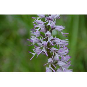 Orchis x beyrichii A.Kern. [1865] (Orchis)