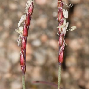 Photographie n°288956 du taxon Mibora minima (L.) Desv.