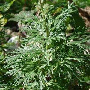 Photographie n°289098 du taxon Aconitum napellus L. [1753]