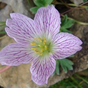 Photographie n°289166 du taxon Geranium cinereum Cav. [1787]