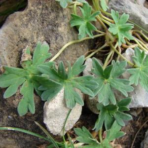 Photographie n°289167 du taxon Geranium cinereum Cav. [1787]