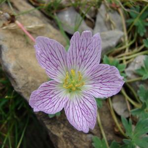 Photographie n°289168 du taxon Geranium cinereum Cav. [1787]