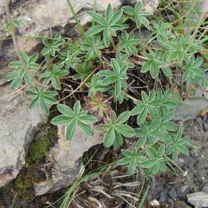 Photographie n°289171 du taxon Potentilla alchemilloides Lapeyr. [1782]