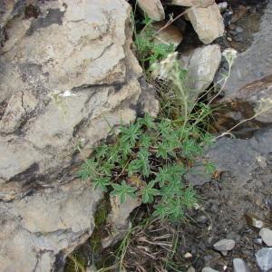 Photographie n°289172 du taxon Potentilla alchemilloides Lapeyr. [1782]