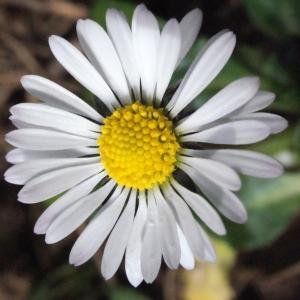 Photographie n°289240 du taxon Bellis perennis L.