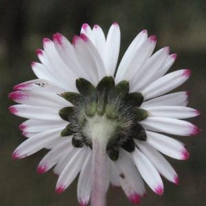Photographie n°289243 du taxon Bellis perennis L.