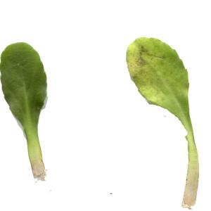 Photographie n°289248 du taxon Bellis perennis L.