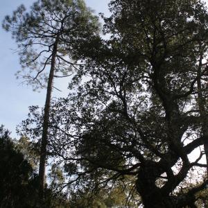 Photographie n°289309 du taxon Quercus suber L. [1753]