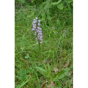 Orchis x beyrichii A.Kern. (Orchis)