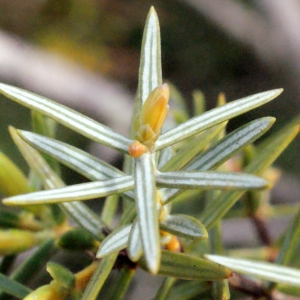 - Juniperus oxycedrus L.