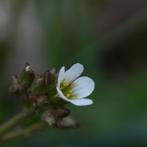 Photographie n°289474 du taxon Saxifraga granulata L.