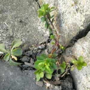 Photographie n°289985 du taxon Euphorbia peplus L. [1753]