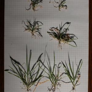 Photographie n°289995 du taxon Brachypodium distachyon var. subtile (De Not.) Nyman [1855]