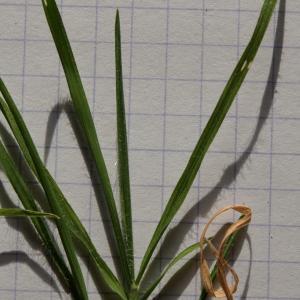 Photographie n°289997 du taxon Brachypodium distachyon var. subtile (De Not.) Nyman [1855]