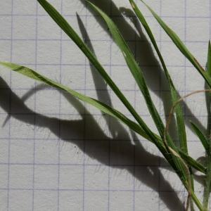Photographie n°289998 du taxon Brachypodium distachyon var. subtile (De Not.) Nyman [1855]