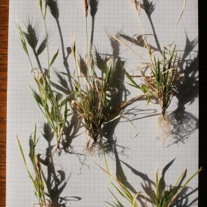 Photographie n°290005 du taxon Brachypodium distachyon var. multiflorum Willk. [1861]