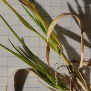 Photographie n°290006 du taxon Brachypodium distachyon var. multiflorum Willk. [1861]