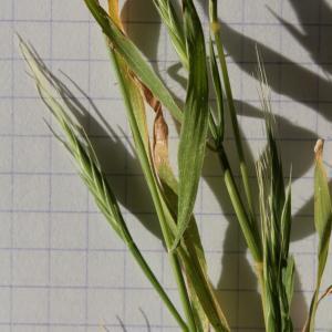 Photographie n°290007 du taxon Brachypodium distachyon var. multiflorum Willk. [1861]