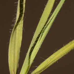 Photographie n°290010 du taxon Brachypodium distachyon var. multiflorum Willk. [1861]