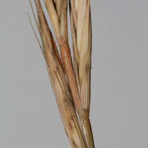 Photographie n°290015 du taxon Brachypodium distachyon var. multiflorum Willk. [1861]