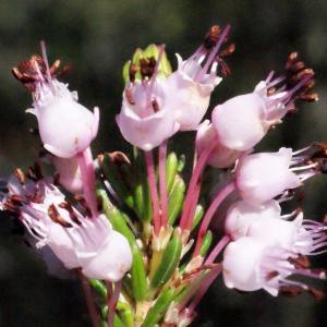 - Erica multiflora sensu L. [1754]